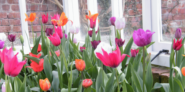 Tulips in the Victorian Greenhouses